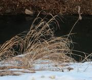 27th Jan 2019 - grass on linear trail