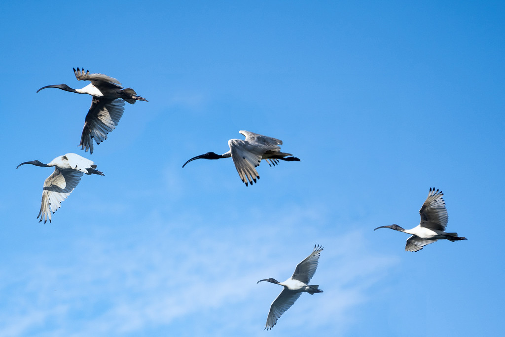 Ibis flight by sugarmuser