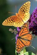28th Sep 2018 - Fritillary + Monarch