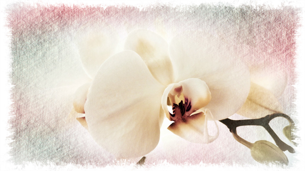 Orchid  by beryl