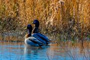 29th Jan 2019 - Mallard Ducks