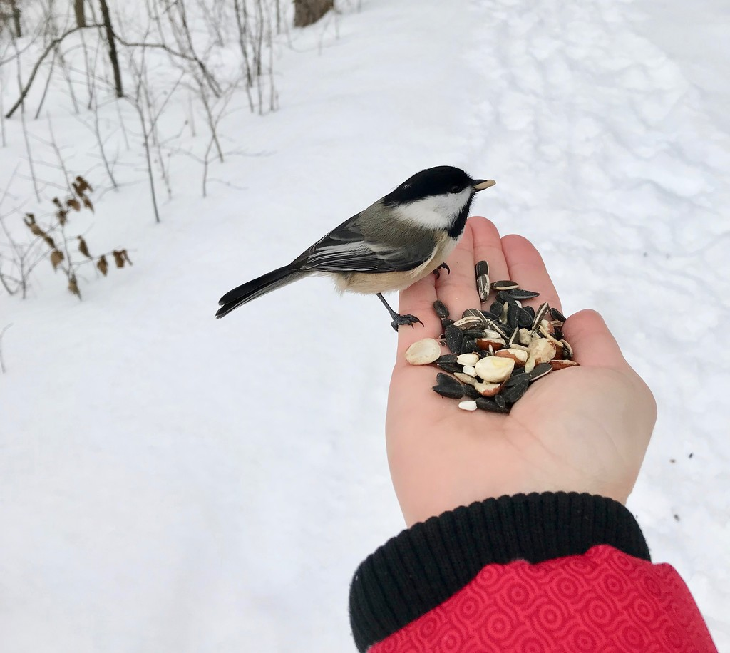 Feeding the Chickadees by frantackaberry
