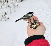 29th Jan 2019 - Feeding the Chickadees