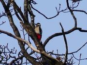 29th Jan 2019 - A Grey Spotted Woodpecker