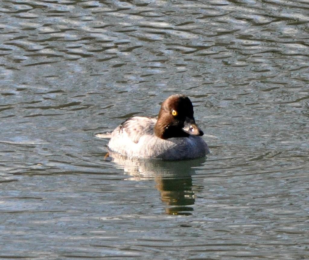 Female common goldeneye duck by sailingmusic