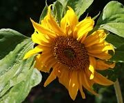 17th Jan 2019 - Sunflower