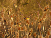 29th Jan 2019 - Charm of Goldfinches