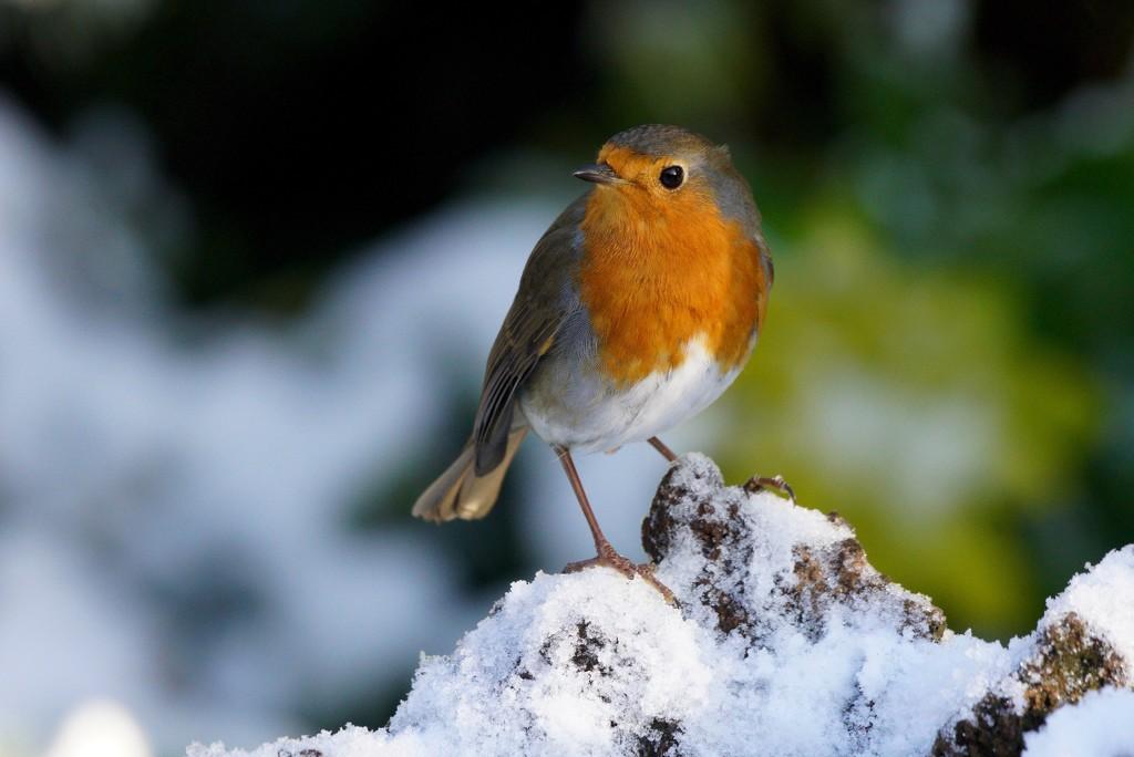 SNOWY ROBIN by markp