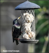 30th Jan 2019 - Starlings really are beautiful birds