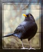 30th Jan 2019 - Blackbird
