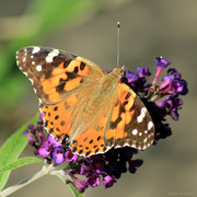 """29th Sep 2018 - """"Painted Lady"""""""