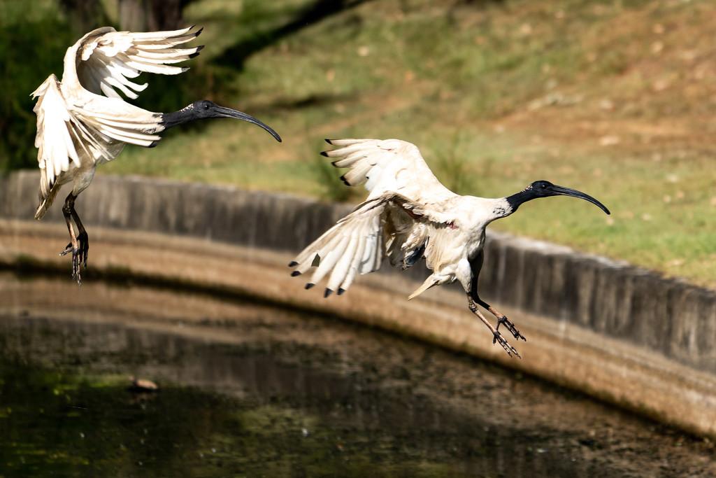 Ibis landing by sugarmuser