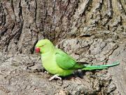 30th Jan 2019 - A Parakeet