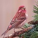 Purple Finch or House Finch?? by milaniet