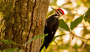 30th Jan 2019 - Pileated Woodpecker!