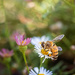 A bee in the front garden by jodies
