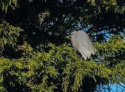 26th Jan 2019 - Egret in a tree