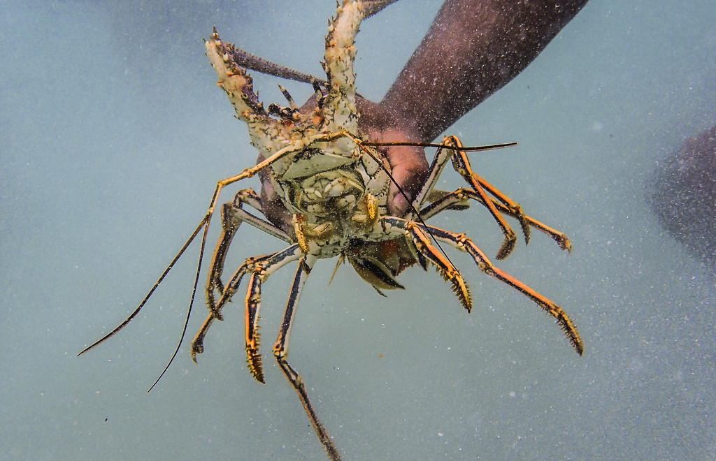 Spiny Lobster by cm_saratoga
