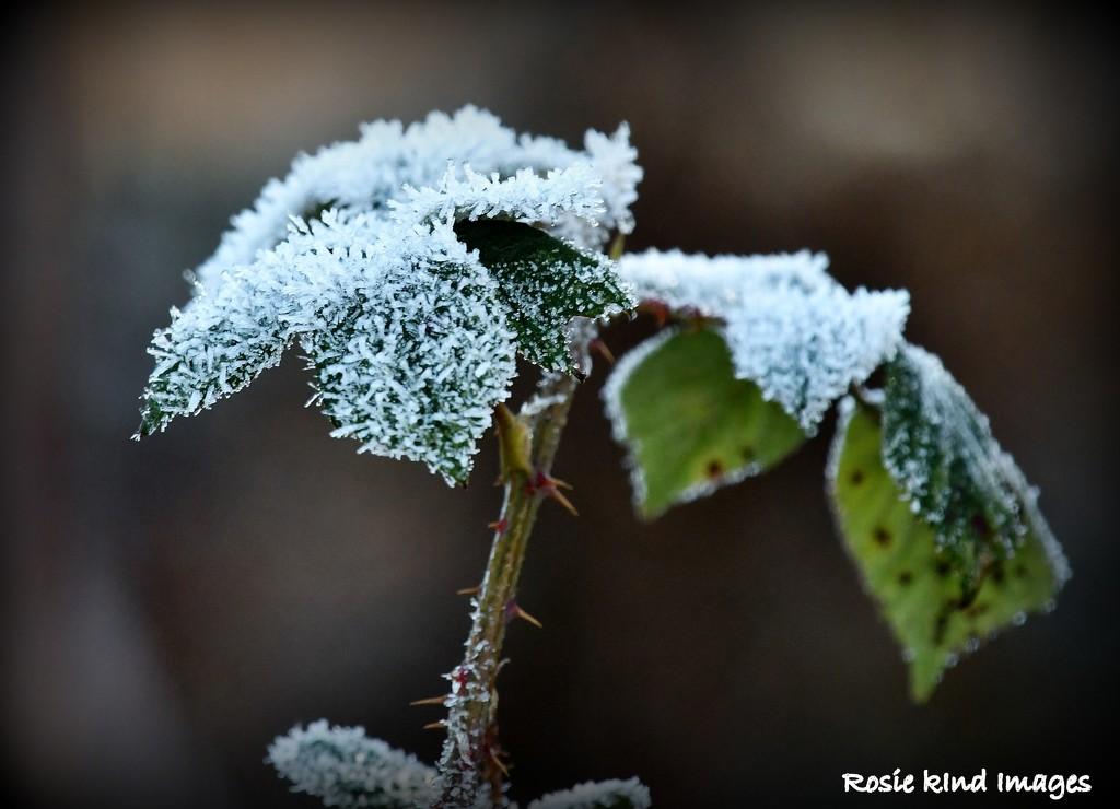 Frosty leaves by rosiekind