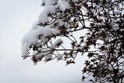 31st Jan 2019 - Snowy bush
