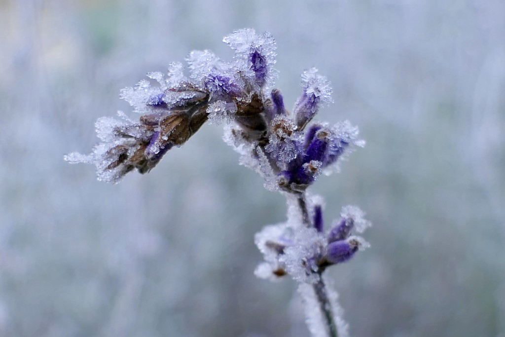 Lavenders White Dilly Dilly by carole_sandford
