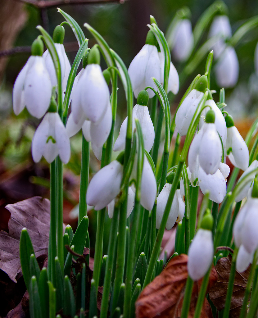 No snow, just snowdrops by mave