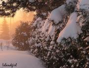 31st Jan 2019 - Snowy Hedge