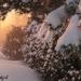 Snowy Hedge by radiogirl