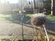 30th Jan 2019 - Teasel