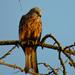 Posing Kite