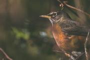 31st Jan 2019 - Resting Robin
