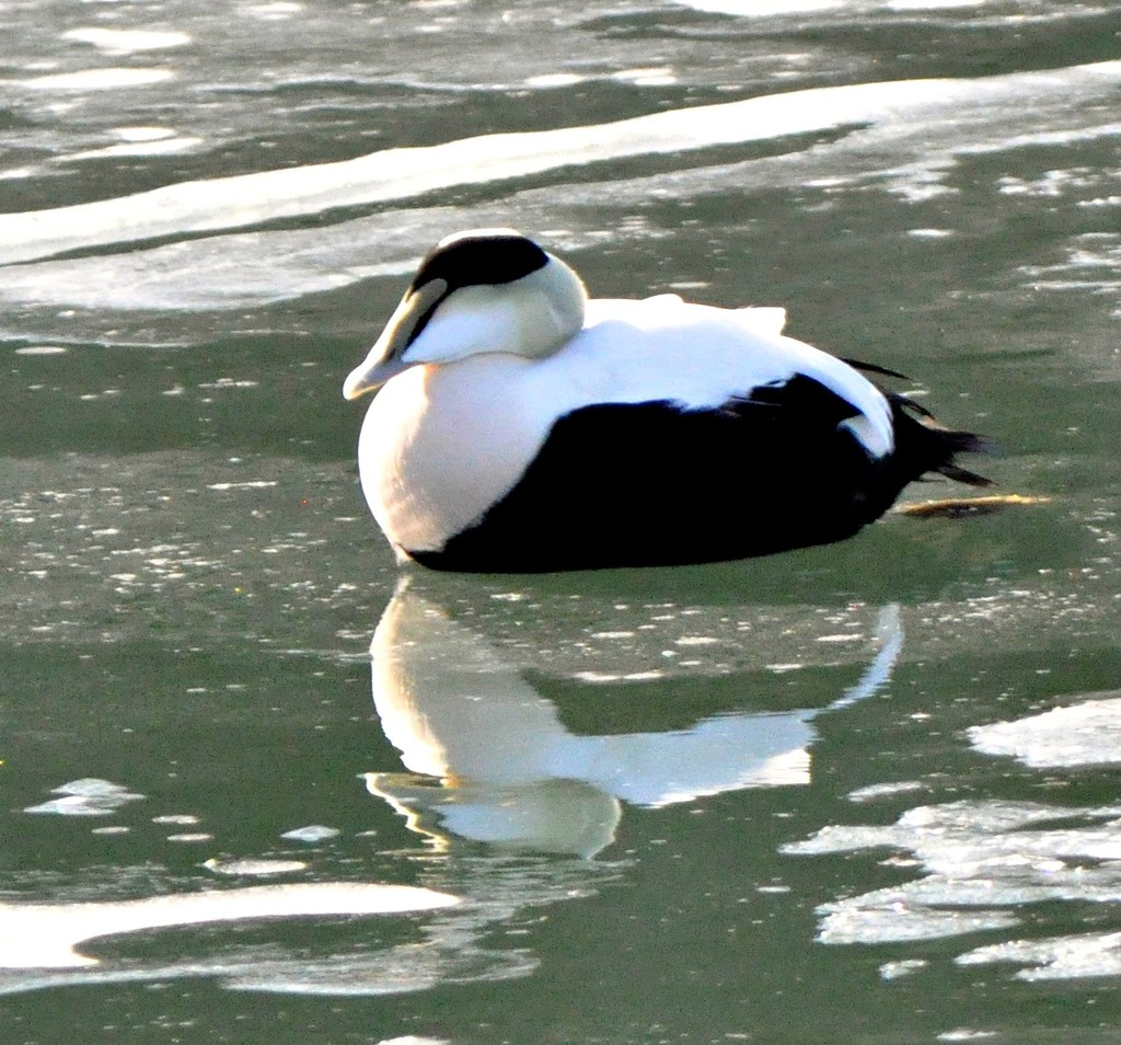 Eider on the ice. by sailingmusic