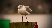 31st Jan 2019 - Seagull on the Post!