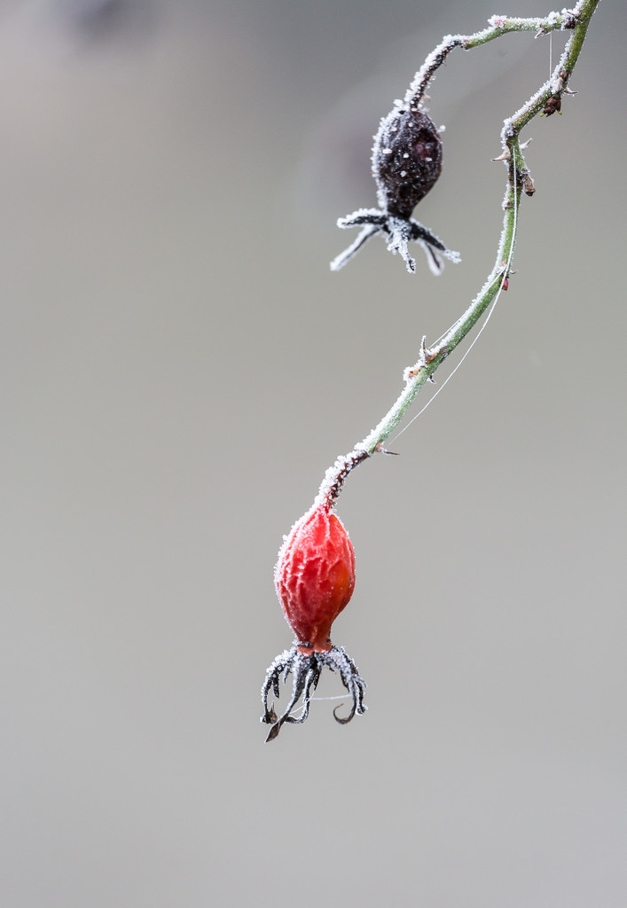 Frosty Rose Hip by dorsethelen