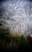 1st Feb 2019 - Frosty Garden