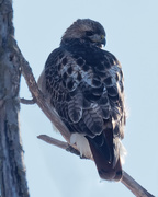 1st Feb 2019 - red-tailed hawk portrait