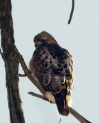 1st Feb 2019 - red-tailed hawk