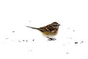 28th Jan 2019 - Sparrow on the Snow
