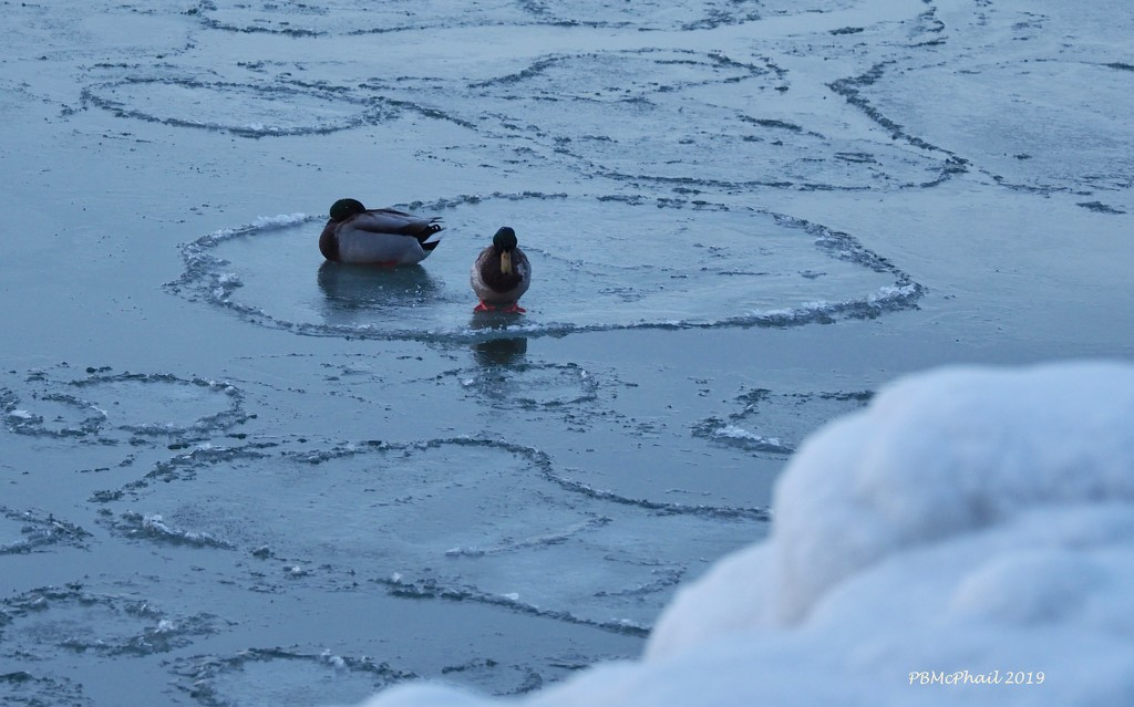Hanging out on the ice..... by selkie