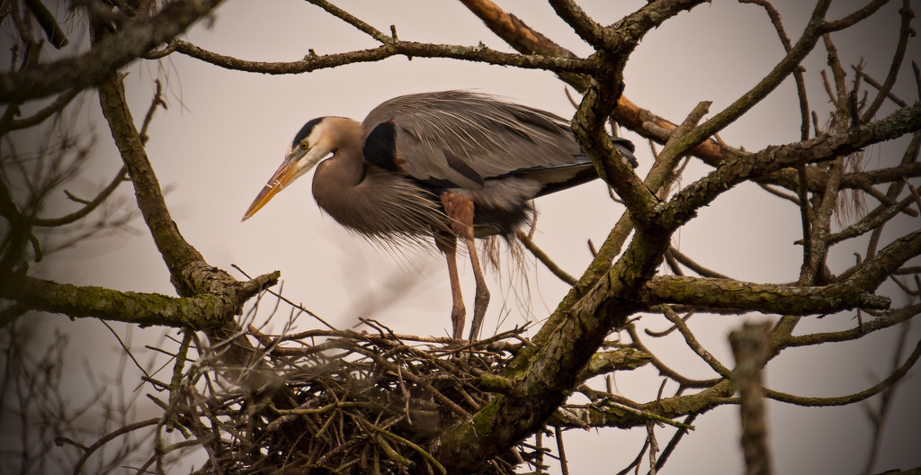 Blue Heron on the Nest! by rickster549