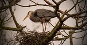 1st Feb 2019 - Blue Heron on the Nest!