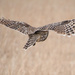 Barred Owl Spreads Its Wings by kareenking