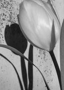 2nd Feb 2019 - Tulip