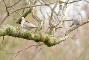 2nd Feb 2019 - Two doves on a branch......