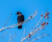31st Jan 2019 - Raven