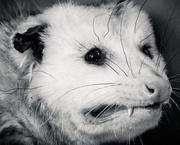 1st Feb 2019 - Virginia Opossum