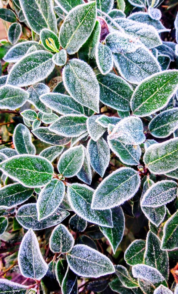 Frosty leaves by boxplayer