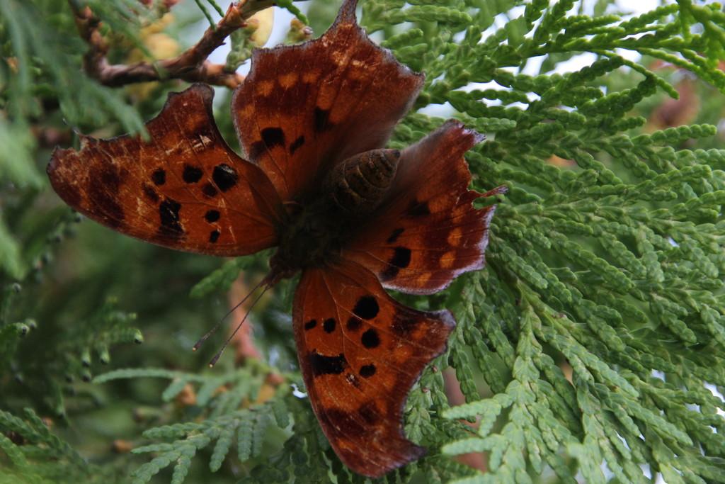 Question Mark Butterfly? by bjchipman