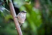 2nd Feb 2019 - White breasted robin