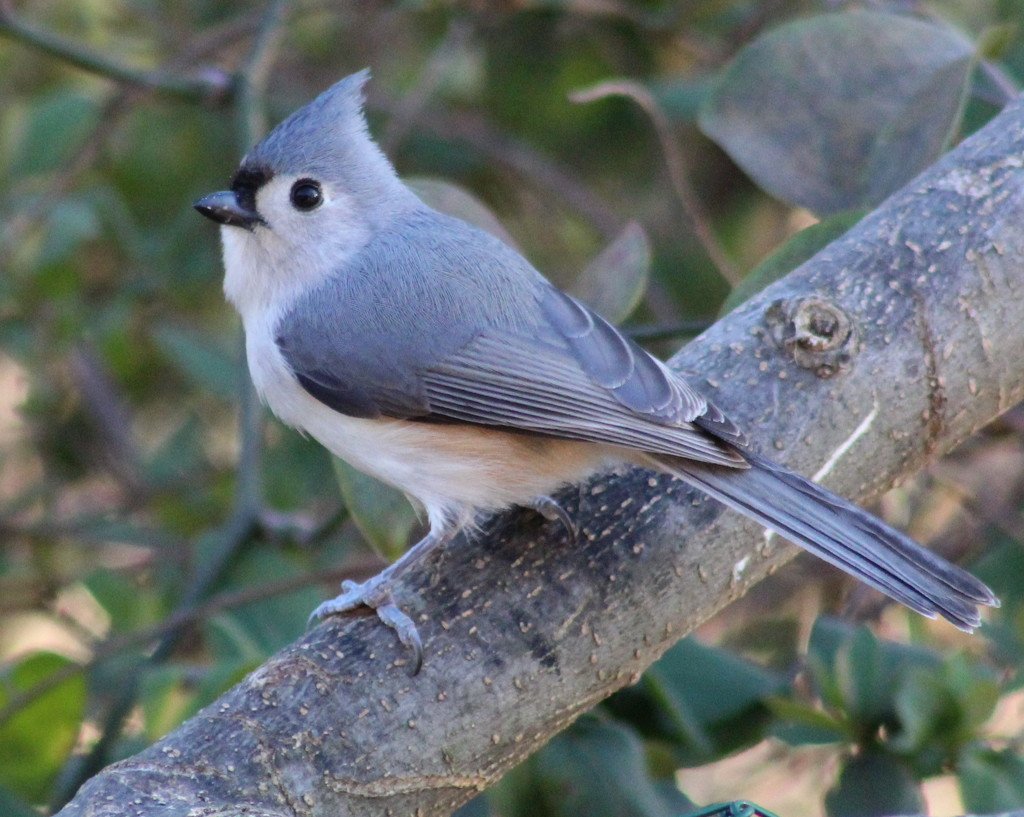 Titmouse by cjwhite